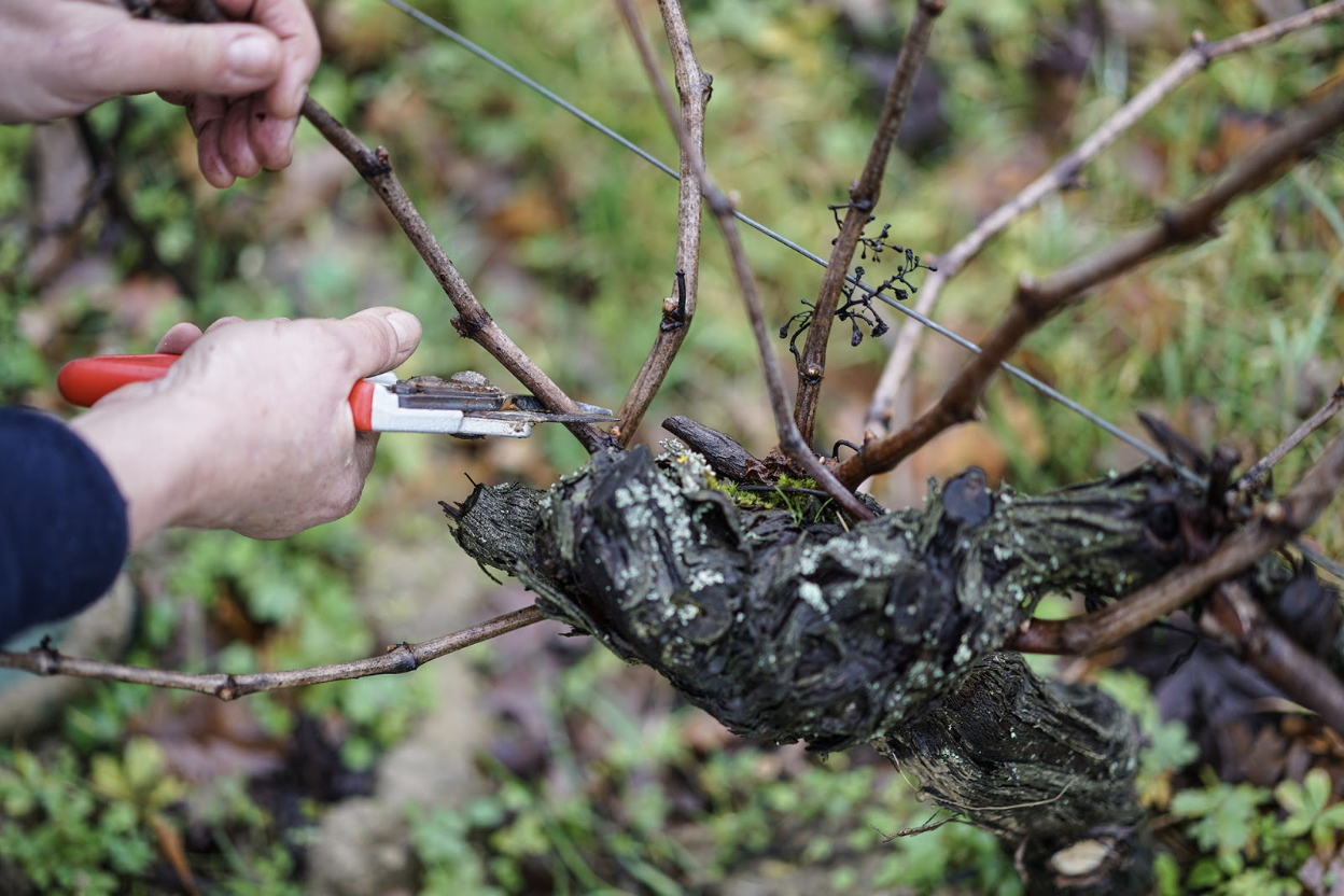 Bordeaux Wines' Brief Guide to Pruning