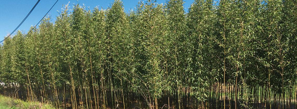 Was macht ein Bambusgarten neben Weinreben?