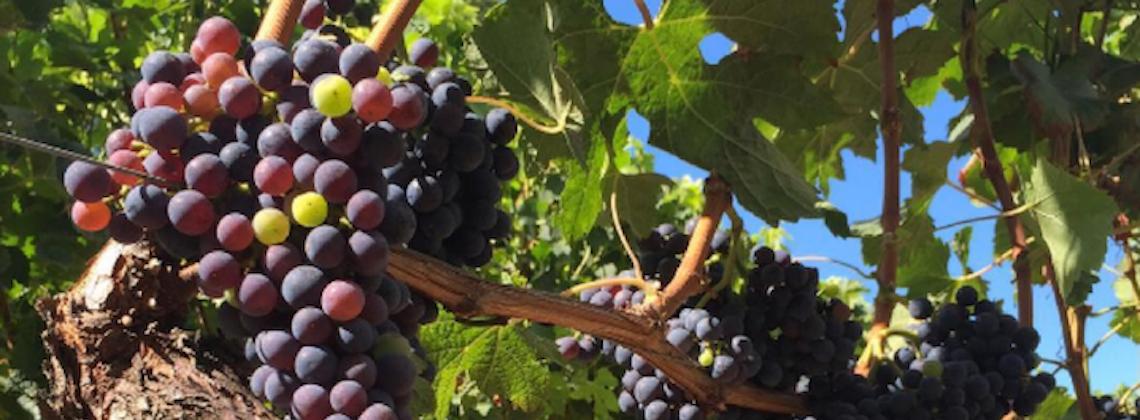 Intussen in de wijngaarden …