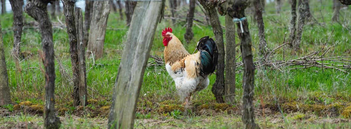 Animals in the vineyard